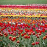Tulipani Italiani in 3D: ecco come visitare il campo